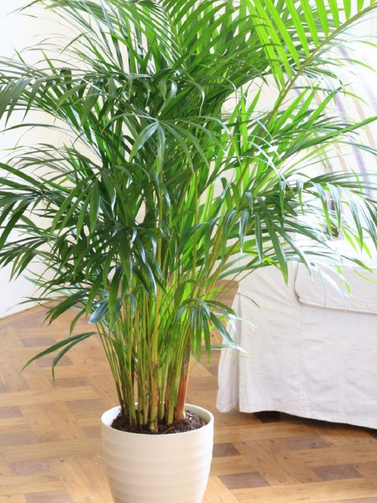 bamboo palm plant